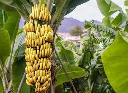 Curso online grátis de Cultivo da Banana