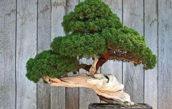 Curso online grátis de Técnicas do Cultivo do Bonsai