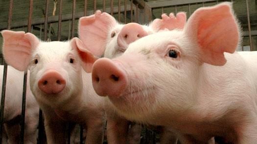 Curso online grátis de Introdução a Inspeção Sanitária de Carnes Suínos