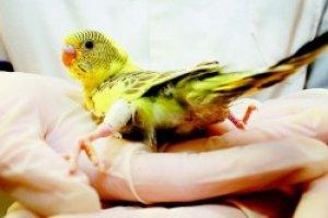 Curso online grátis de Auxiliar de Veterinário de Pássaros